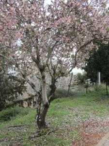 Almond tree 2