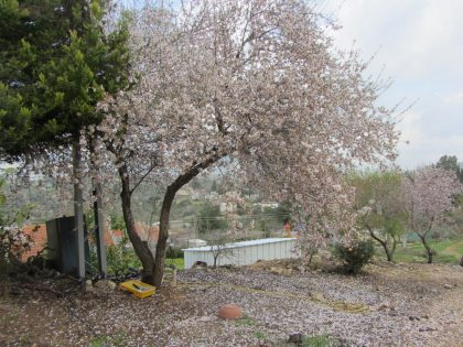Almond tree 7